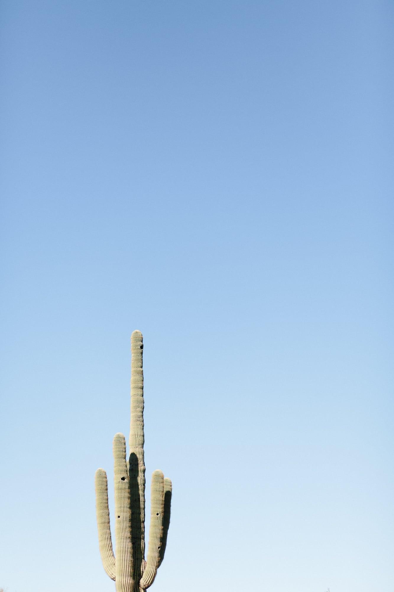 Saguaro Cactus in Scottsdale